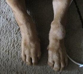 Вывих лапы у собаки симптомы и лечение