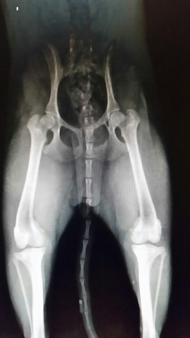 Вывих коленной чашечки у собак: симптомы и лечение - СитиВет, СПб